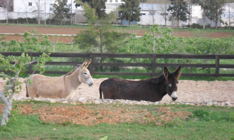 Two donkeys in the paddock